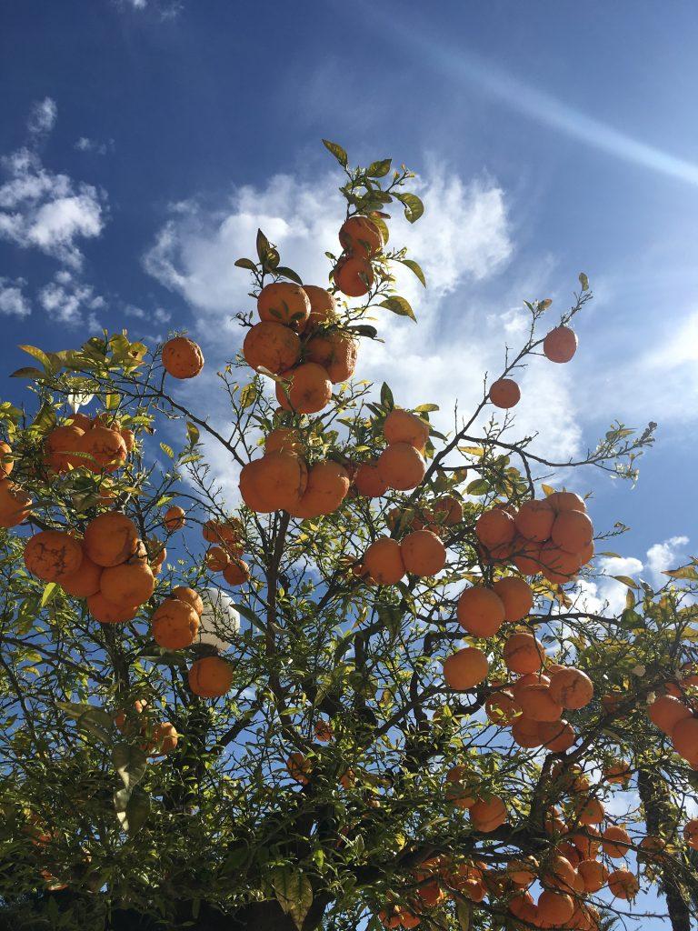 バレンシアオレンジの木