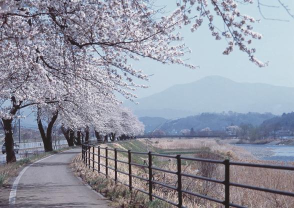 綾織の桜並木